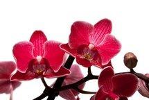 Орхидеи купить в Липецке и преподнести экзотический букет легко. Звоните нам и получите шквал радости близких